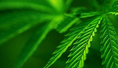 805-Cannabis Marijuana Leaf Background- Green