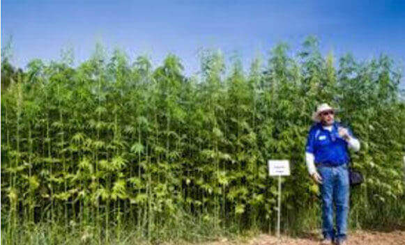 So far, no industrial hemp in Camarillo