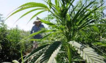 Moorpark complained about weed smell