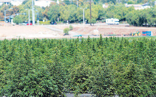 newest hemp cash crop draws criticism